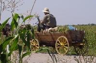 horse_drawn_wagon_in_cornfield.jpg